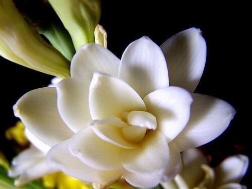 Misteri Aroma Bunga Sedap Malam yang Dipercaya Memiliki Aura Mistis
