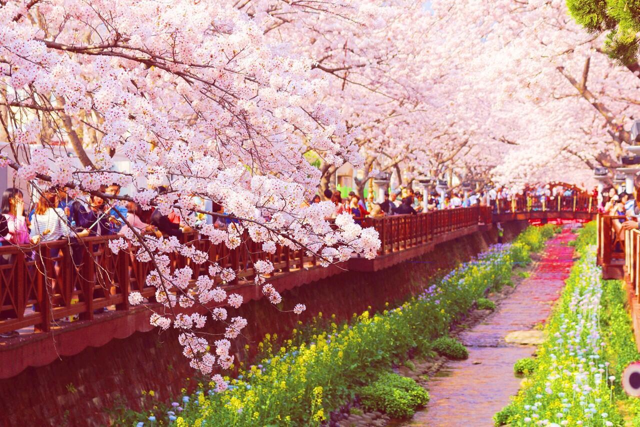 cherry blossom festival - HD1280×854