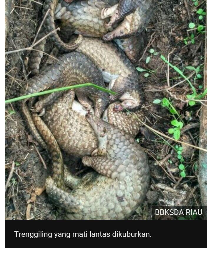 Puluhan Trenggiling Selundupan Dilepasliarkan Di Riau