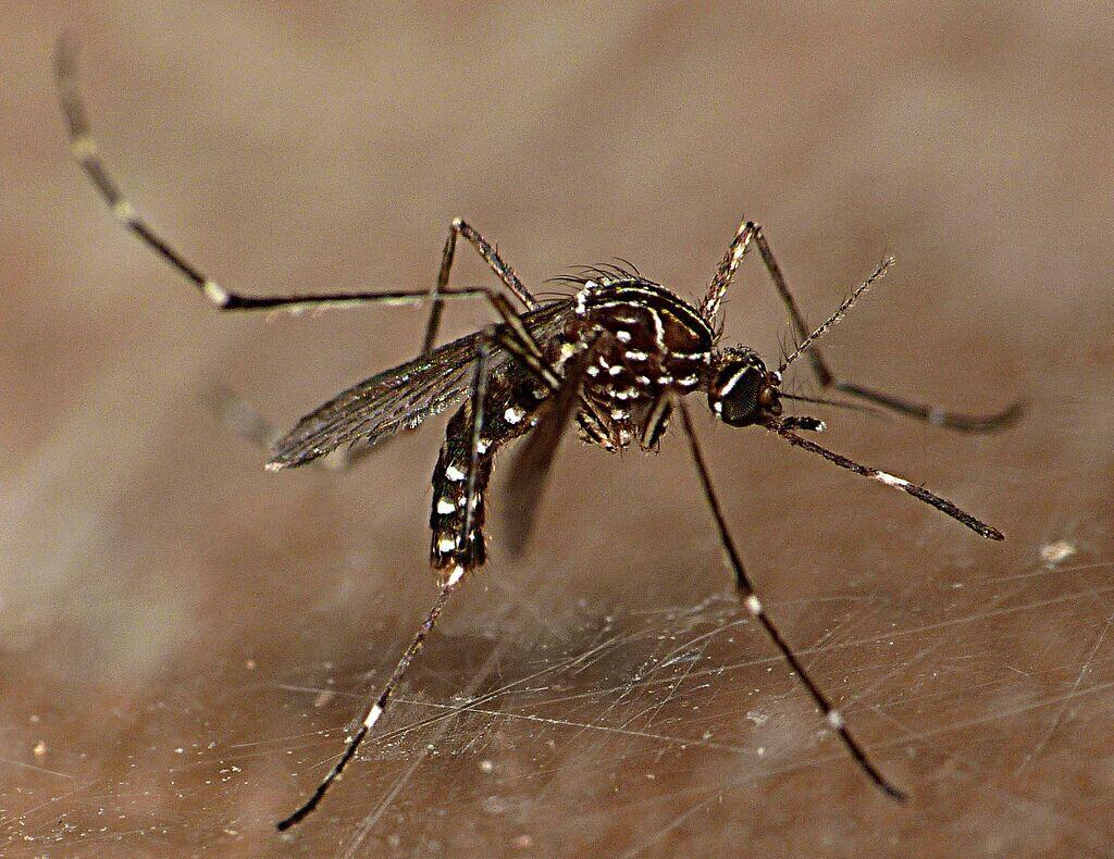 Kenalan Dulu Sama Nyamuk Ini