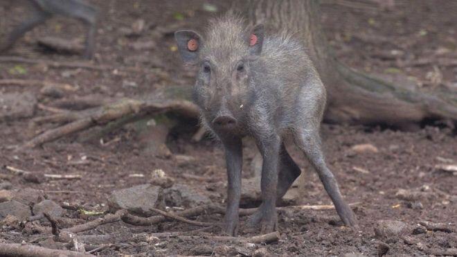 Babi 'Terjelek' Sedunia Yang Selama Ini Diyakini Telah Punah, Ternyata Masih Ada
