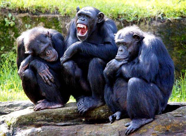 [TELOLET 2017] Simpanse bisa main gunting, batu, kertas. Saudaranya Masuk!