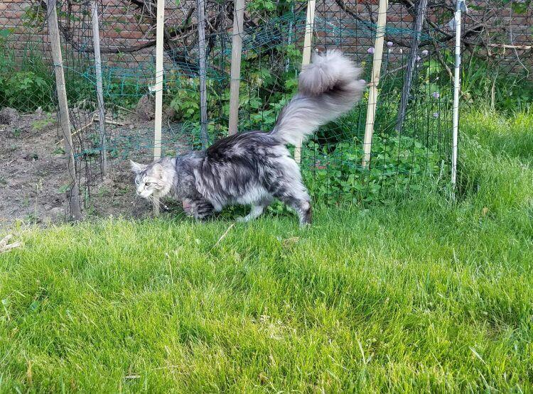 Kenalin Nih Gan Cignus, Kucing Lucu Pemegang Rekor Ekor Terpanjang di Dunia
