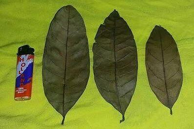 Daun-daun Yang Diyakini Punya Kekuatan Mistis