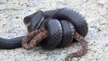 Ngeri! Selain Pelihara King Kobra, Amar Pelihara Ular Derik