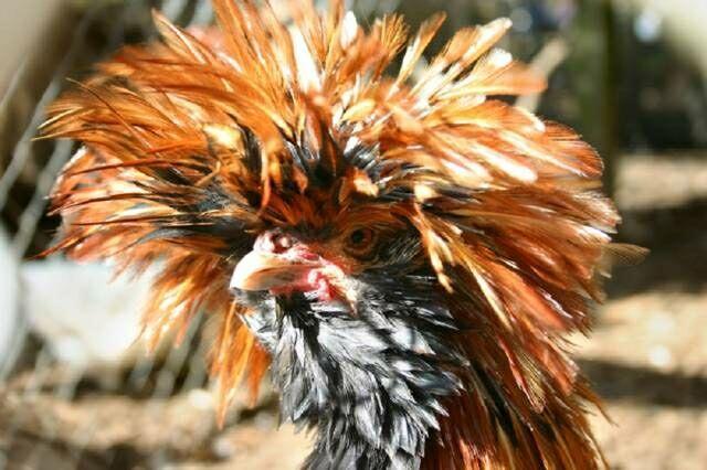 Unik Banget, 5 Jenis Ayam Paling Langka yang Ada di Dunia!