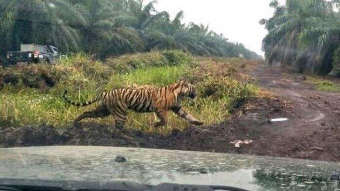Dicari Pakai Animal Communicator, Harimau Bonita Belun terdeteksi