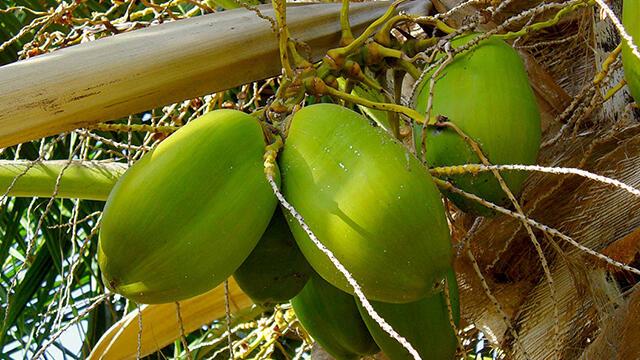 25 manfaat khasiat Tombong kelapa untuk kesehatan
