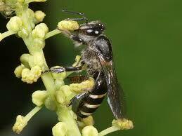 Lebah Madu Yang Sudah Ditemukan Didunia.