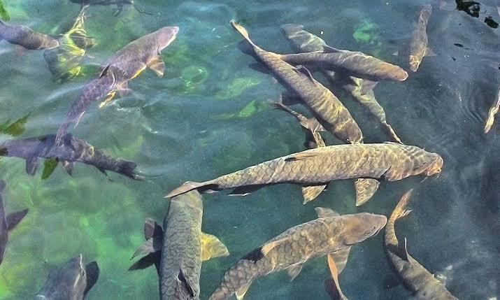 Ikan Kancra Yang Harganya Menarik Untuk Dibudidayakan