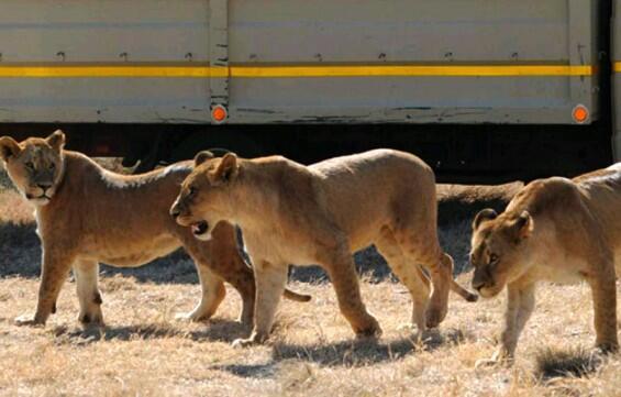 11 Singa Terbujur Kaku di Taman Nasional Uganda, Diduga Diracun