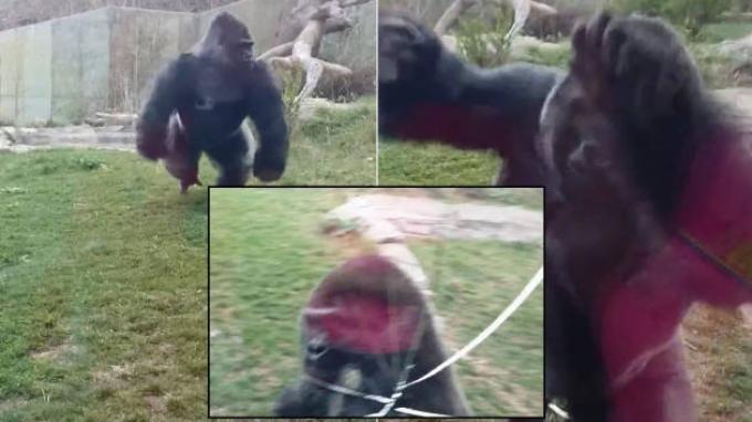 Fatou, Gorila Tertua Di Dunia Rayakan Ulang Tahun ke-61 Di Kebun Binatang Berlin