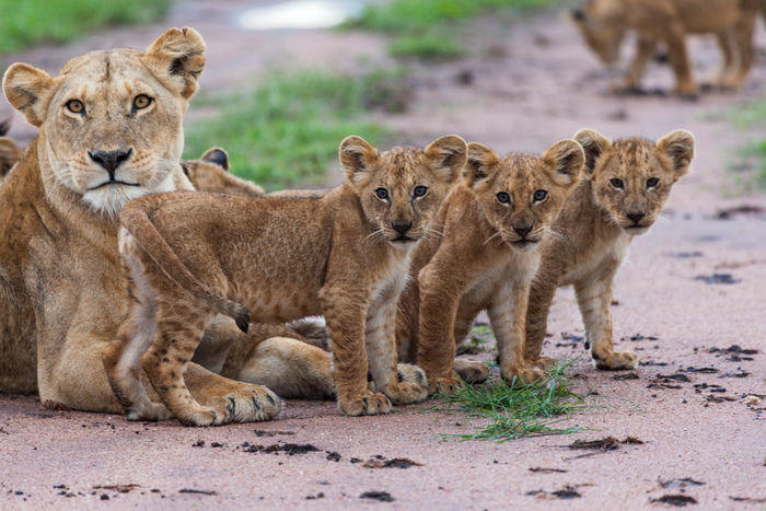 Kala sekawanan singa tewas di taman nasional Uganda