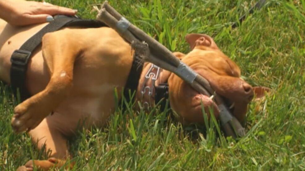 'There was blood everywhere': Another Washington city bans pit bulls