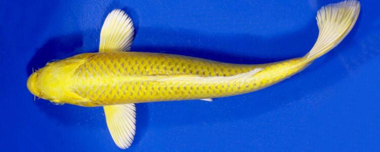 Melihara Ikan Koi Tidak Mudah Gan!
