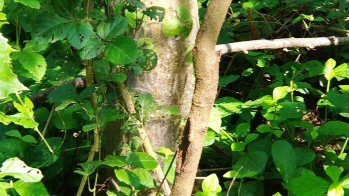 Warga Kedunggading Resah Ribuan Ulat Bulu Serang Kebun