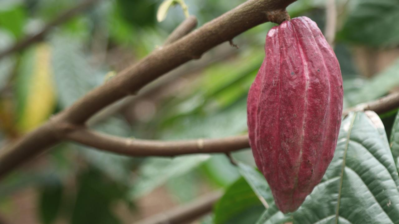 Produksi Kakao Defisit, Angka Impor Berpotensi Naik