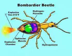 Kumbang Bombardir Menjadi Inspirasi Pembuatan Bom Kimia