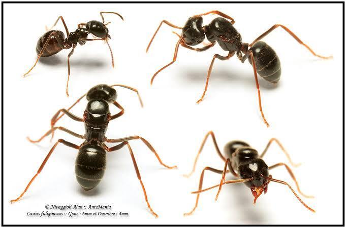 Awas, Katikih Semut Paling Berbahaya Di Borneo