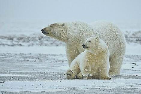 [COC GL] Polar Bear Di Ambang Kepunahan, Ilmuwan Pun Bertindak
