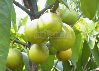 Tanaman buah langka di mekarsari bogor