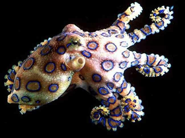 5 Fakta Keren Gurita Cincin Biru. Binatang Paling Beracun Di Laut