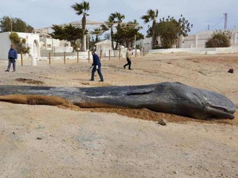 Miris Gan ! 29 Kilo Plastik di Perut Ikan Paus