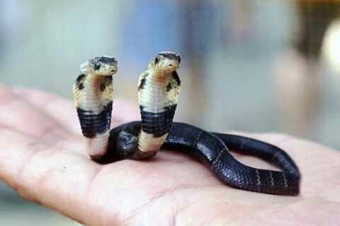Mengerikan! Ditemukan Ular Kobra Berkepala Dua dengan Racun sangat Mematikan