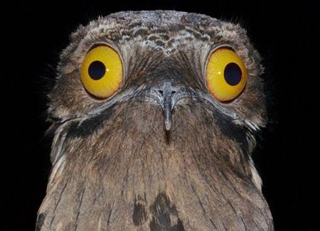 Burung Potoo Yang Unik Dan Setia Sama Pasangannya