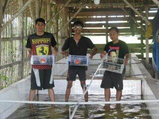 Investor & partner budidaya lobster air tawar