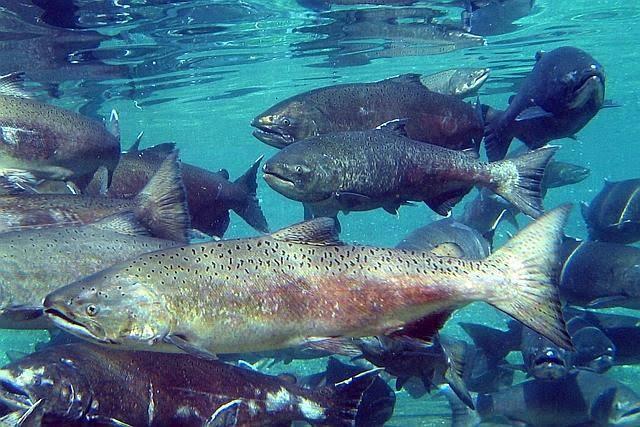 """Swimming Dead"" Si Salmon Yang Unik"