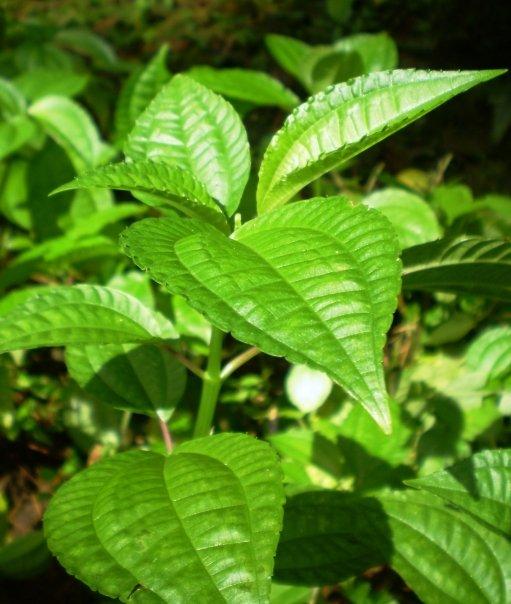 [COC GL] Makanan survival yang dapat kita cari di hutan / gunung