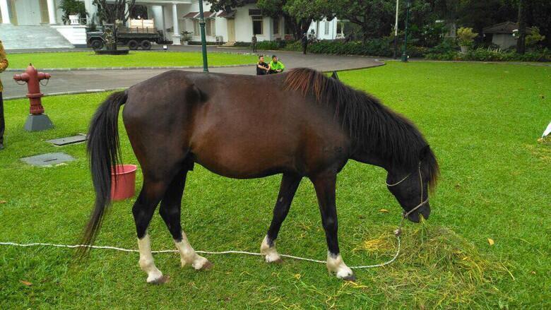 Kuda Sandalwood yang Diberikan ke Jokowi Diletakan di Istana Bogor (Diedit)