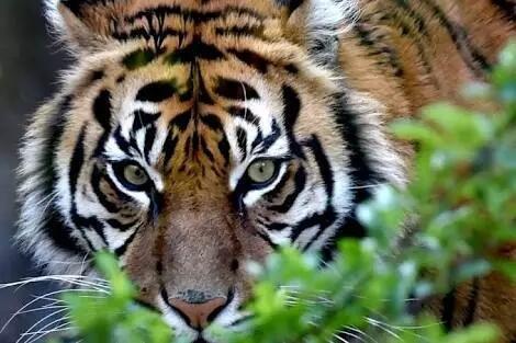 Harimau atau Singa, Siapakah Raja Hutan Sebenarnya?
