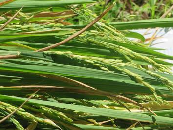 Bertani Padi Di Lahan Yang Sempit