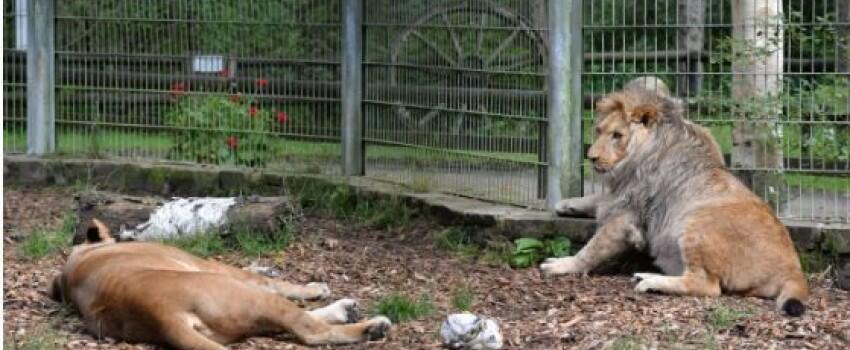 Kena Banjir, Lima Hewan Buas Kabur dari Kebun Binatang