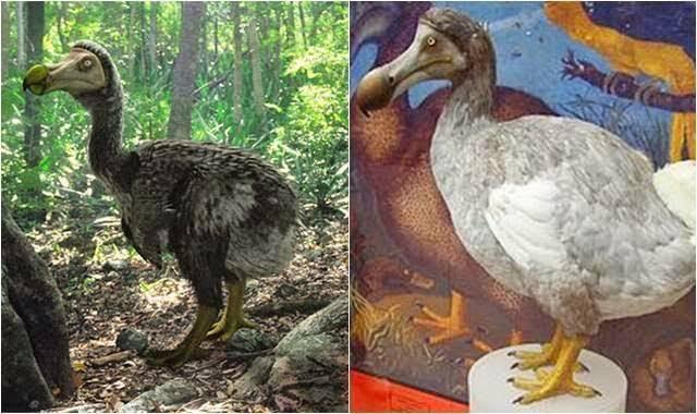 Burung Dodo Yang Lucu, Namun Sayang Katanya Sudah Punah ?