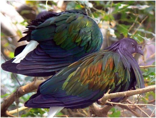 Burung Merpati Nicobar Pigeon Yang Kini Menjadi Langka !!