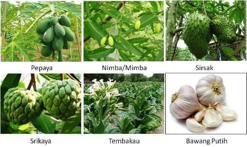 Manfaatkan Bahan-bahan ini untuk Membuat Pestisida Ramah Lingkungan