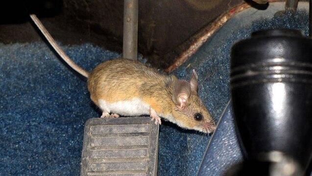 Pasti Ampuh! Lindungi Mobilmu dari Bahaya Tikus dengan 7 Cara Ini