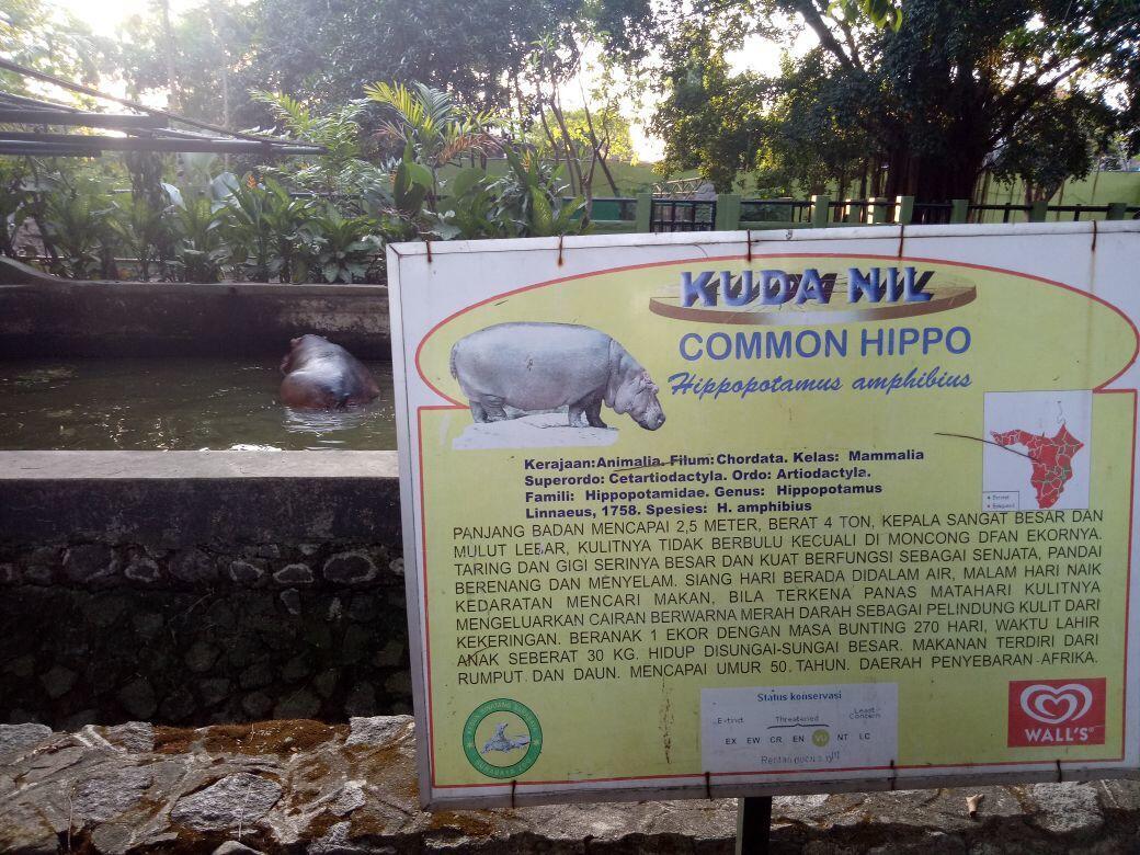 Malika, Bayi Kuda Nil Koleksi Baru Kebun Binatang Surabaya