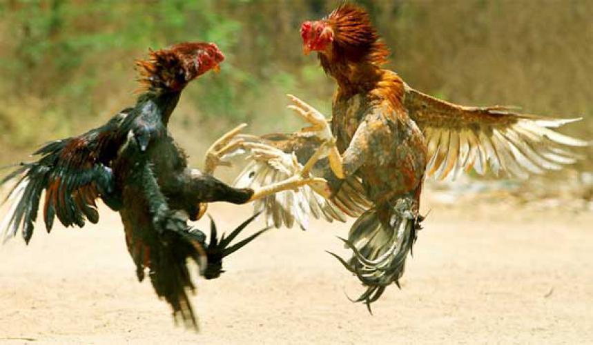 Tradisi yang berhubungan dengan ayam di Indonesia