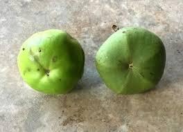 Manchineel, Pohon Paling Beracun yang Bisa Sebabkan Kematian