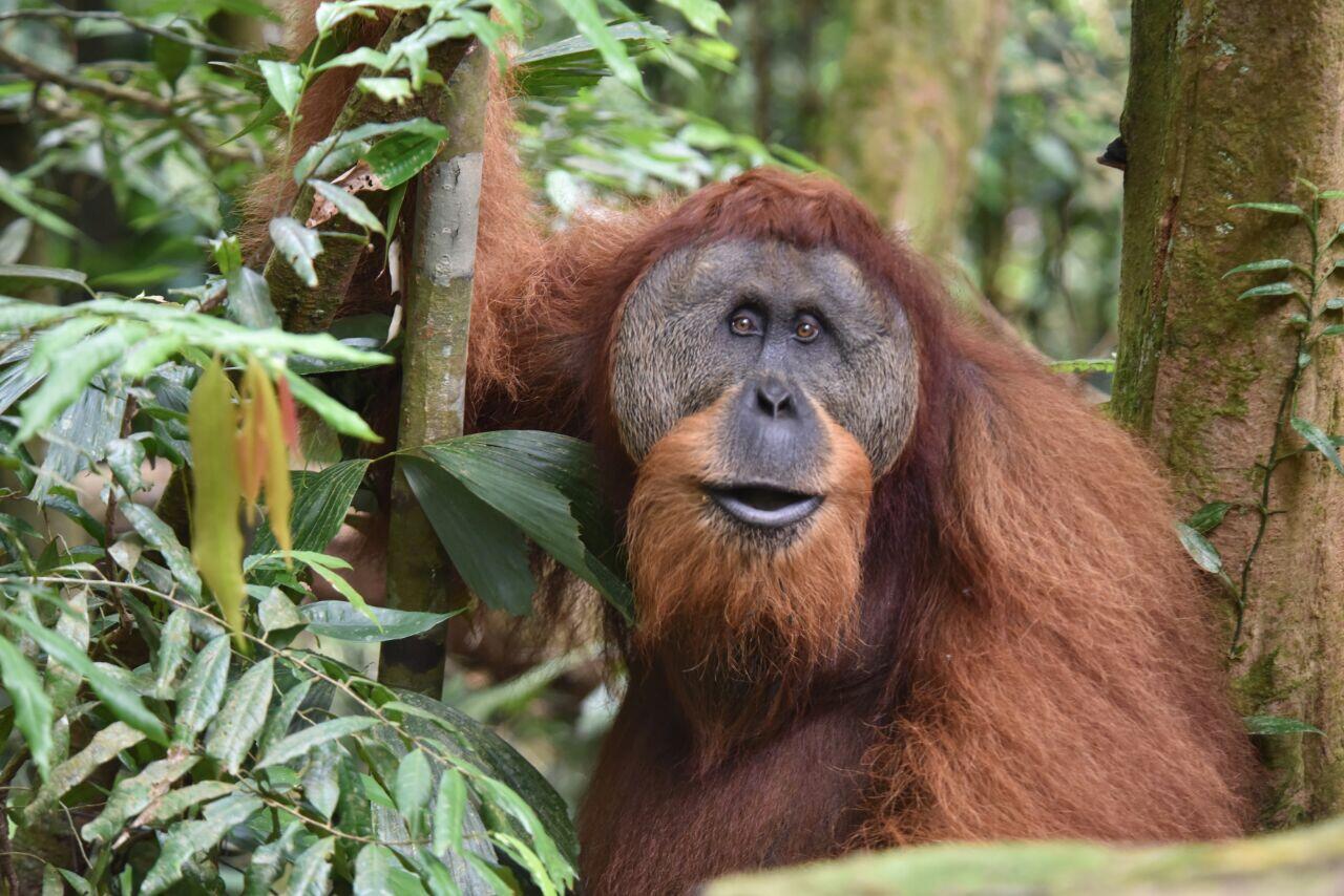 KLHK Terus Lakukan Upaya Penyelamatan Orangutan