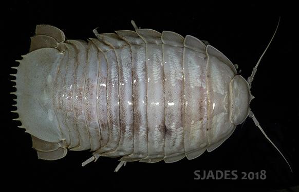 Keren, spesies-spesies baru ini ditemukan di laut dalam jawa!