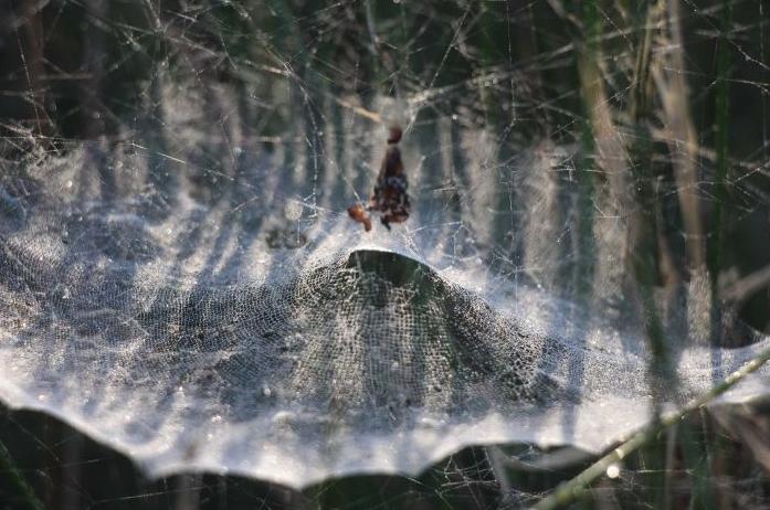 """Ratusan Laba-laba membangun """"Tenda"""" di Cagar Alam Australia"""