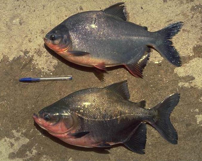 Ikan Predator Air Tawar Yang Hidup Di Indonesia