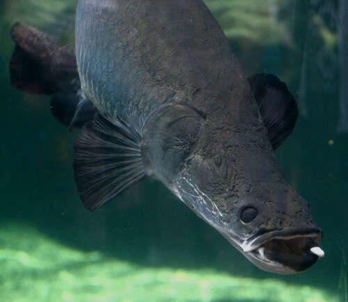 8 Fakta Menarik Arapaima, Ikan Raksasa yang Bikin Heboh Netizen