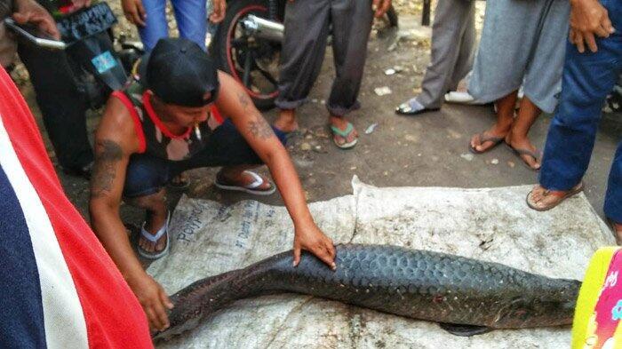Fakta-Fakta Tentang Arapaima Sang Predator Sungai di Indonesia