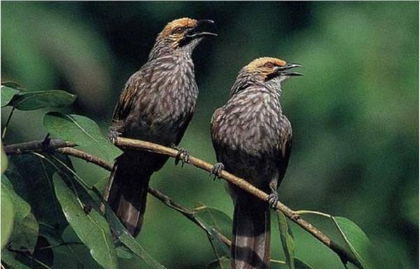 Burung Kicau Termahal Di Indonesia